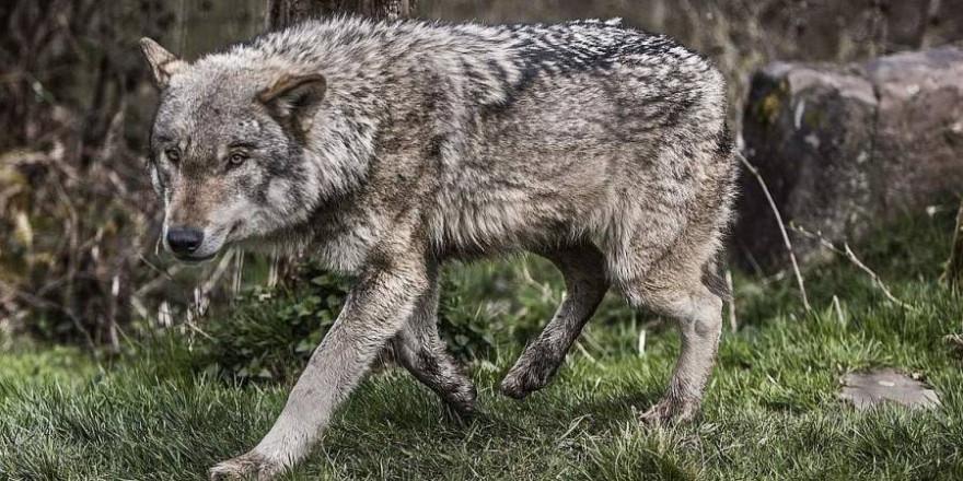 Ein Wolf (Foto: pixabay_mila_del_monte)