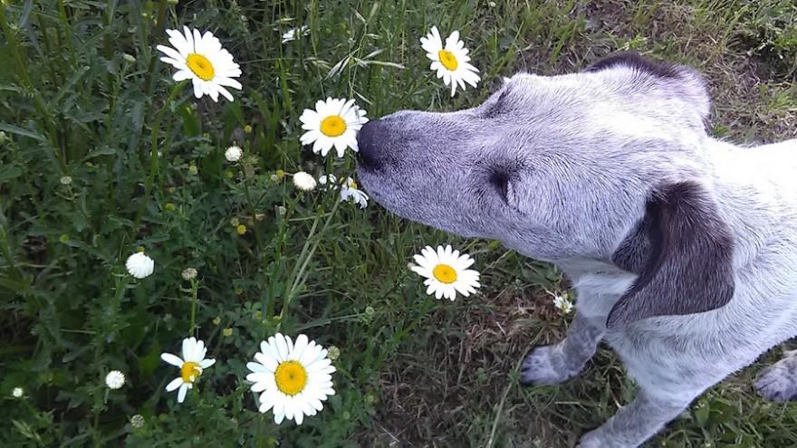 Hund schnuppert an Blüte