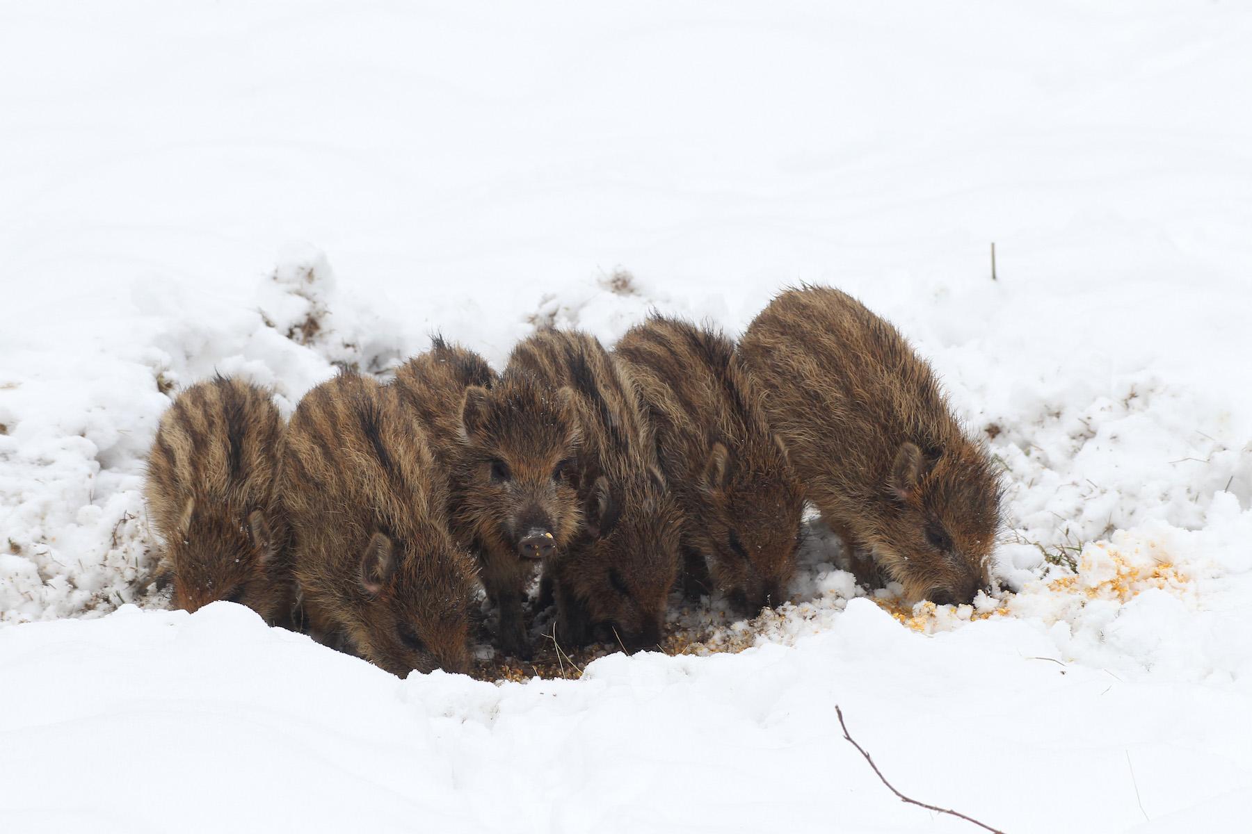 Frischlinge brechen im Schnee