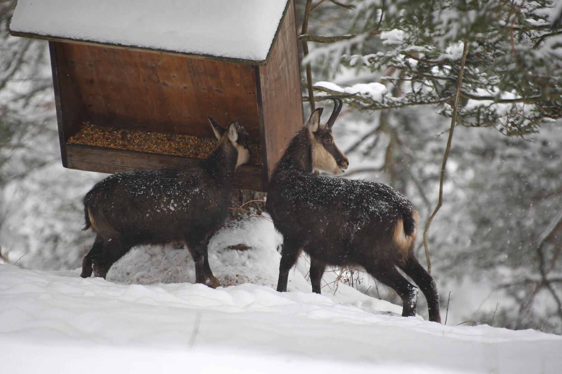 Gämsen im Schnee