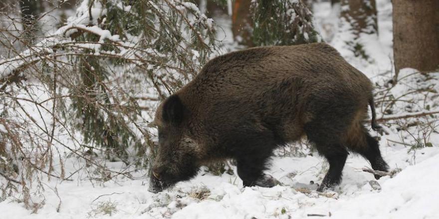 Ein Keiler im Schnee (Foto: Dieter Hopf)