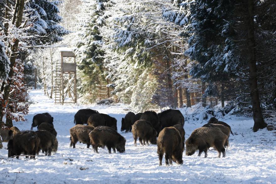 Wildchweinrotte brechend im winterlichen Wald