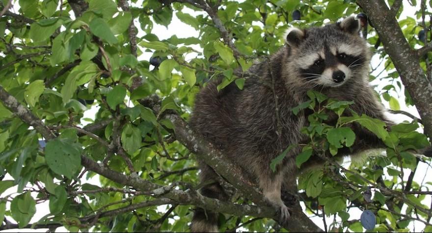 Ein Waschbär sitzt in einem Pflaumenbaum.
