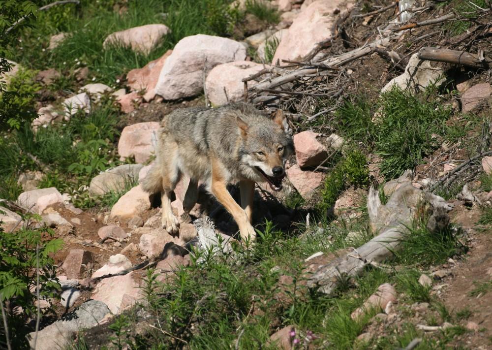 Wolf im Gebirge