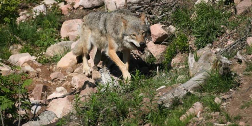 Wolf im Gebirge (Foto: Dieter Hopf)