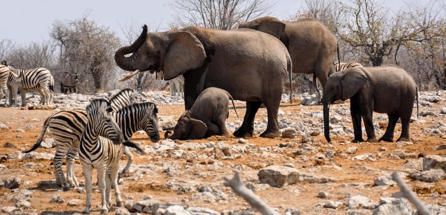Elefanten und Zebras in Afrika