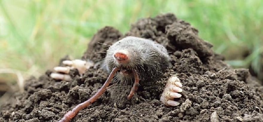 Maulwürfe fressen Regenwürmer, Insekten, Larven und Schnecken.