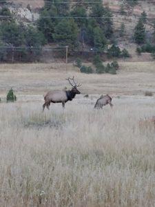 Der Wapiti-Hirsch mit dem Reifen um seinen Träger (Foto: Colorado Parks and Wildlife)