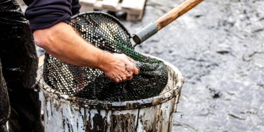 Angler bergen Fische aus dem Schlamm eines abgelassenen Gewässers. (Foto: DAFV, Olaf Lindner)
