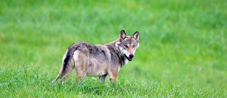 Wolf in freier Wildbahn