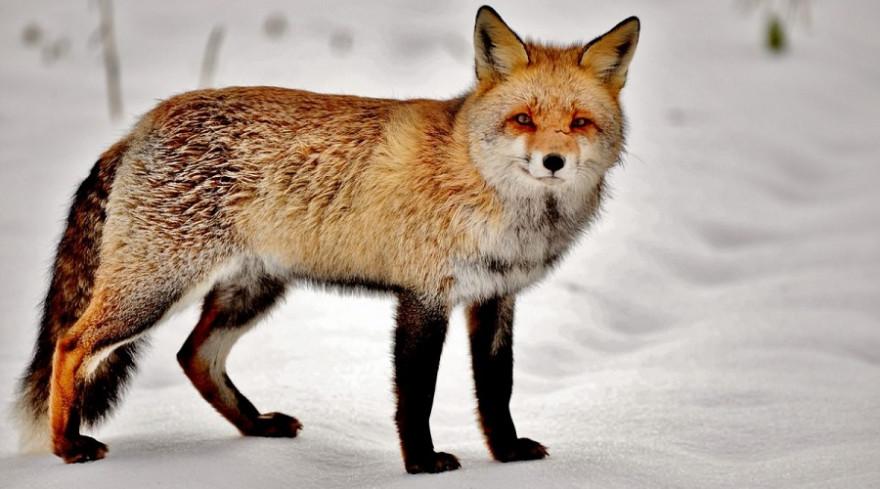 Fuchs im Winterbalg