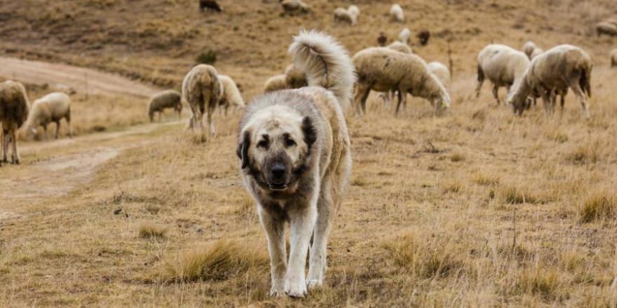 Herdenschutzhund vor einer Schafherde (Symbolbild: iStock/MajaArgakijeva)
