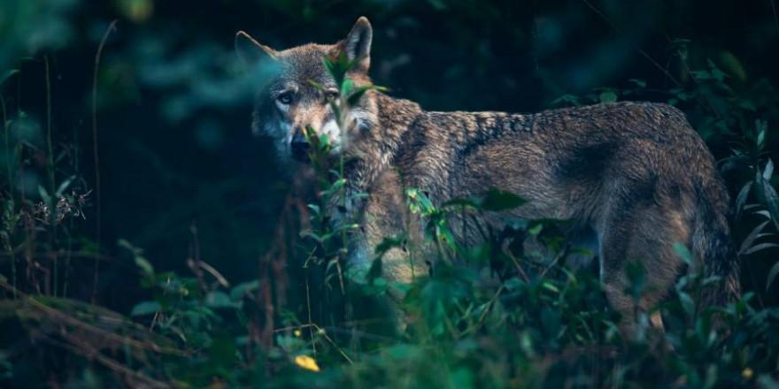 Ein Wolf teilweise von Vegetation verdeckt (Symbolbild: iStock/ysbrandcosijn)