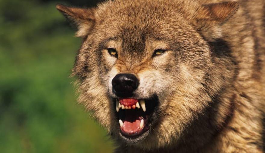 Ein Wolf fletscht die Zähne (Beispielbild: iStock/ twildlife)