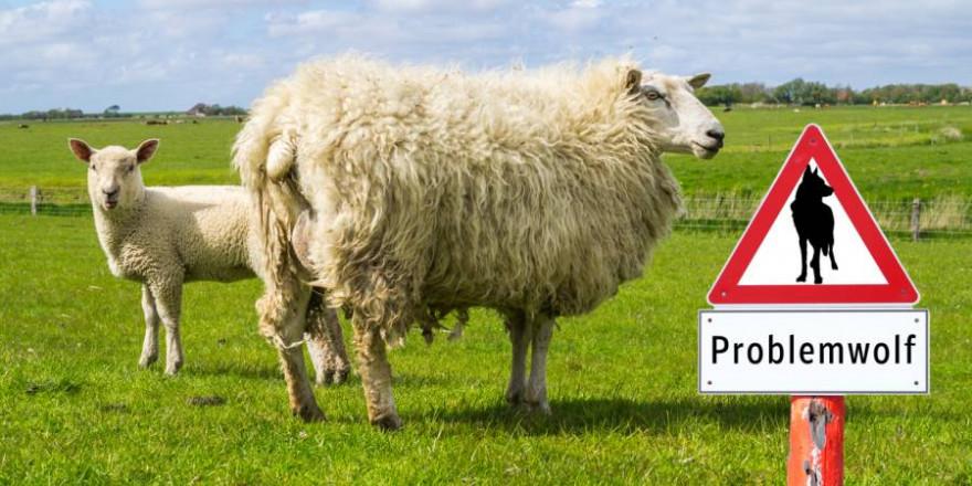 """Problemwölfin """"Gloria"""" darf weiterhin ungehindert Weidetiere reißen (Symbolbild: iStock/Animaflora)"""