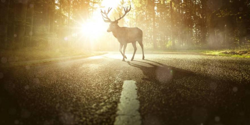 Ein Hirsch überquert eine Straße (Beispielbild: iStock/Marcus Millo)