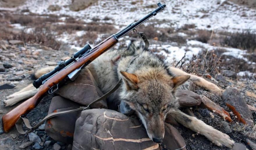 Bis zu 140 Wölfe sollen in diesem Winter in Estland erlegt werden (Beispielbild: iStock.com)