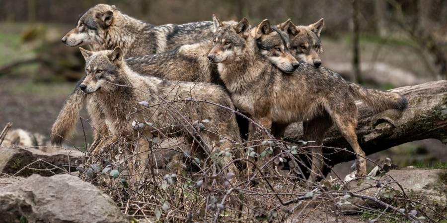 Fünf Wölfe im Wald (Symbolbild: iStock/AB Photography)