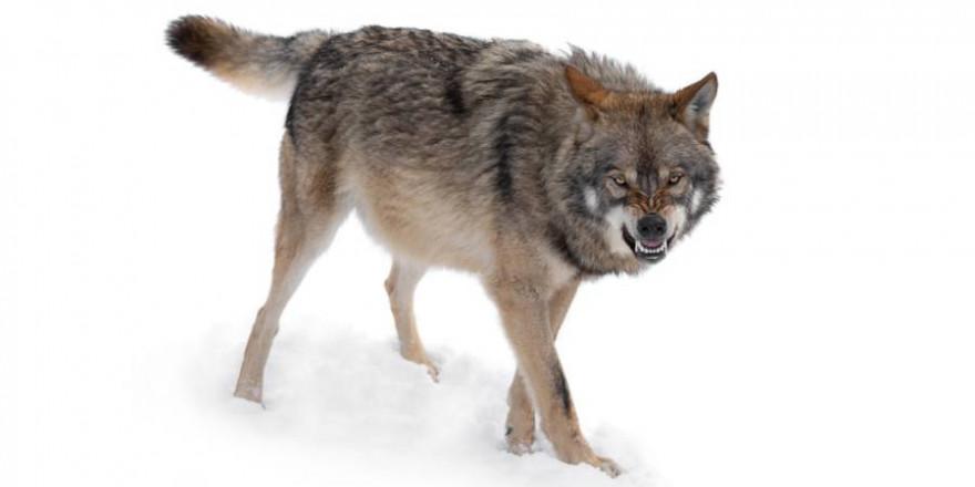 Ein Wolf im Schnee (Symbolbild: iStock/bazilfoto)