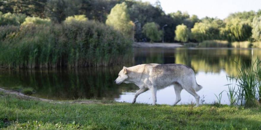 Dem Wolf ähnliche Hunde sind in manchen Kreisen sehr gefragt (Symbolbild: Ekaterina Chizhevskaya)