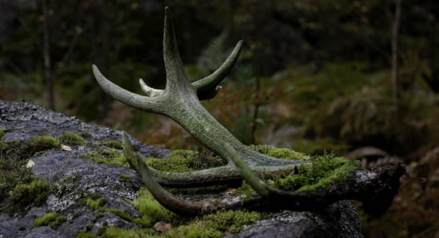 Diese Abwurfstange eines Rothirsches dürfte schon etwas länger im Wald liegen. (Beispielbild: iStock/thomasmales)