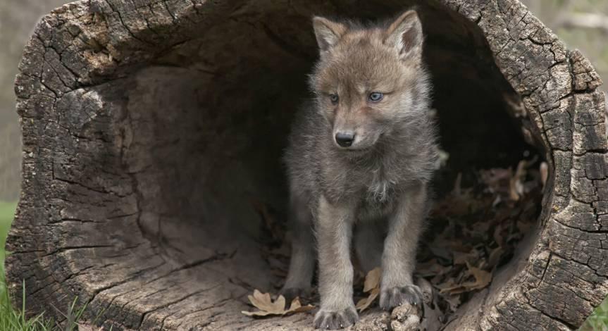Wolfswelpe in einem hohlen Baumstamm (Symbolbild: Lynn_Bystrom)
