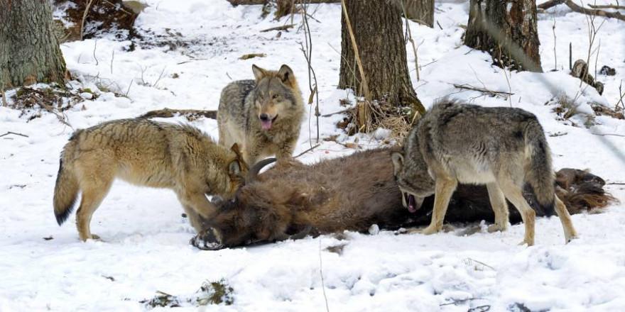 Drei Wölfe an einem Bison (Symbolbild: iStock/Film Studio Aves)