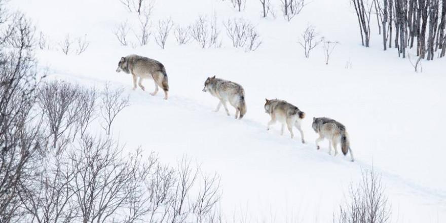 Vier Wölfe im norwegischen Winter (Foto: iStock/kjekol)