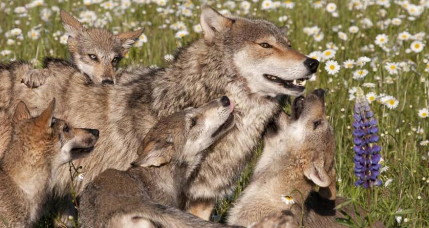 Wolfswelpen spielen mit ihrer Mutter. (Symbolbild: iStock/dssimages)