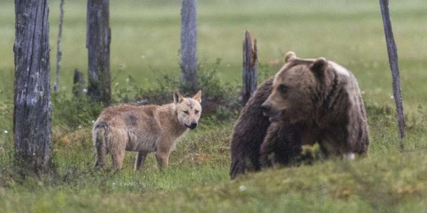 Wolf und Braunbär in Finnland (Beispielbild: iStock/Mats Lindberg)