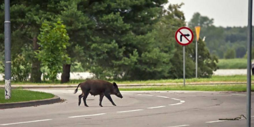 Eine Wildschweinbache überquert eine Straße (Symbolbild: iStock/wrzesientomek)