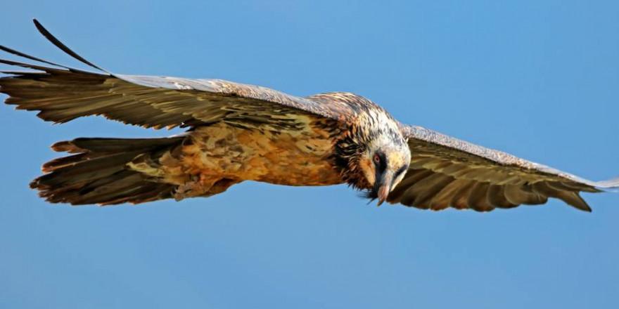 Bartgeier im Flug (Foto: iStock/EcoPic)