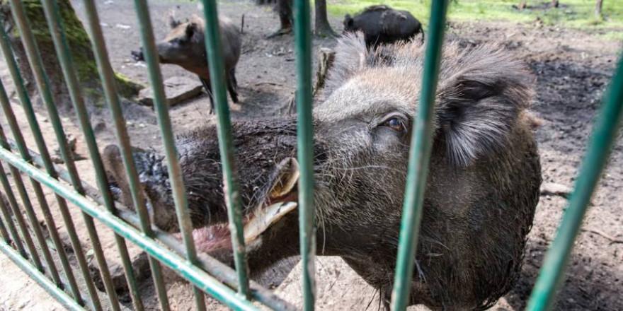 """U. a. schlecht gewartete und durchlässige ASP-Schutzzäune kritisiert das BMEL. Hier zu sehen drei Wildschweine hinter einem """"sauensicheren"""" Zaun (Symbolbild: Sanny11)"""