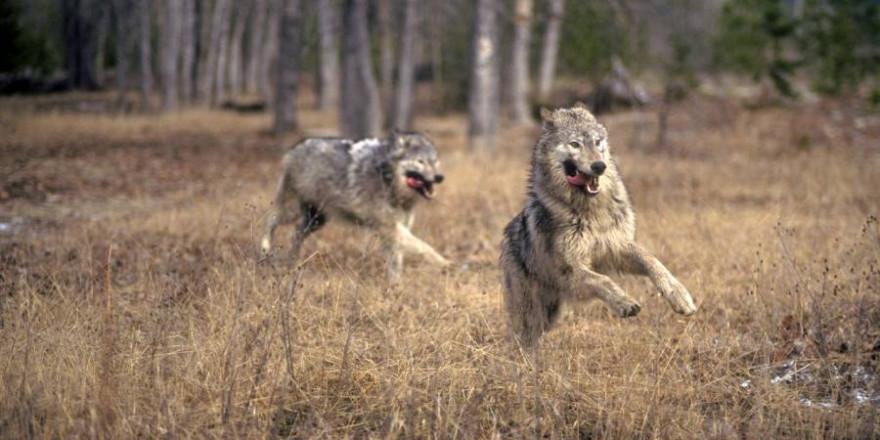 Zwei Wölfe (Symbolbild: iStock/ johnrandallalves)