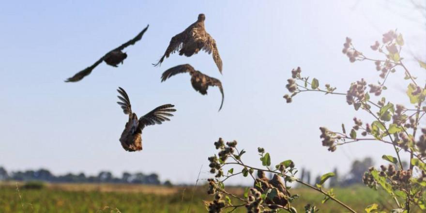 Auffliegende Rebhühner (Symbolbild: iStock/drakuliren)