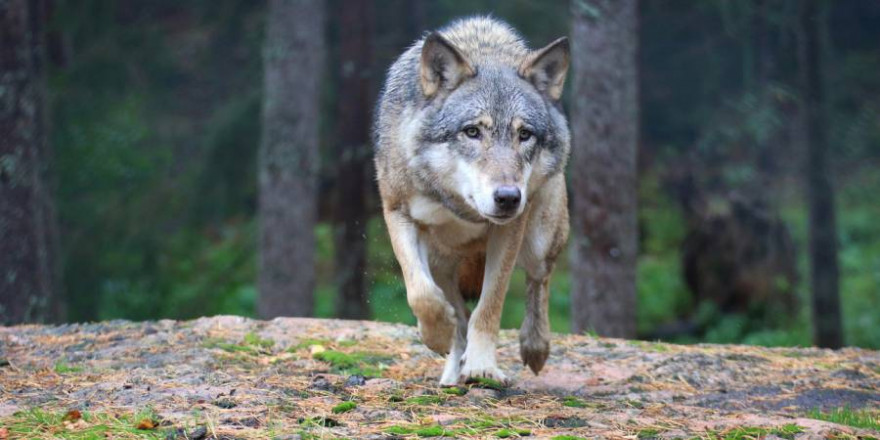 Wölfin in einem Bergwald (Symbolbild: iStock/esmeraldaedenberg)