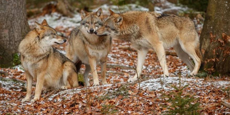 Auch in Bayern werden Wölfe ein immer größeres Problem für Weidetierhalter (Symbolbild: iStock/Photocech)