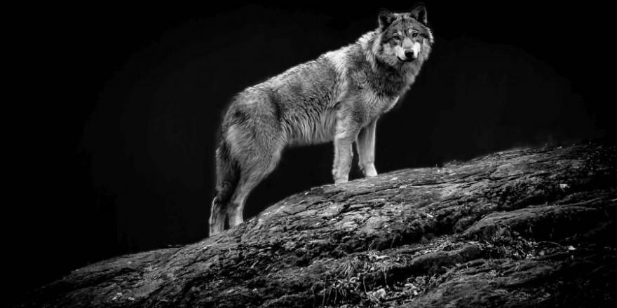 Der angeblich nach Absprache erlegte Wolf wurde nie gefunden. (Symbolbild: iStock/DanHenson1)