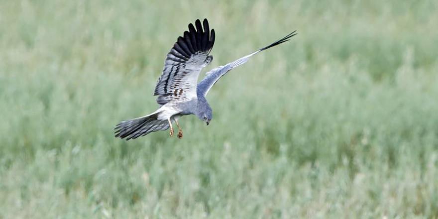 Im Tiefflug, mit V-förmig gehaltenen Flügeln und nur wenigen Flügelschlägen gaukelt die Wiesenweihe über Felder und Wiesen und unterscheidet sich so von Bussarden oder Falken. (Foto: iStock/ Denja1)