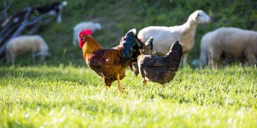 Hühner und Schafe zusammen auf einer Wiese (Symbolbild: Sladic)