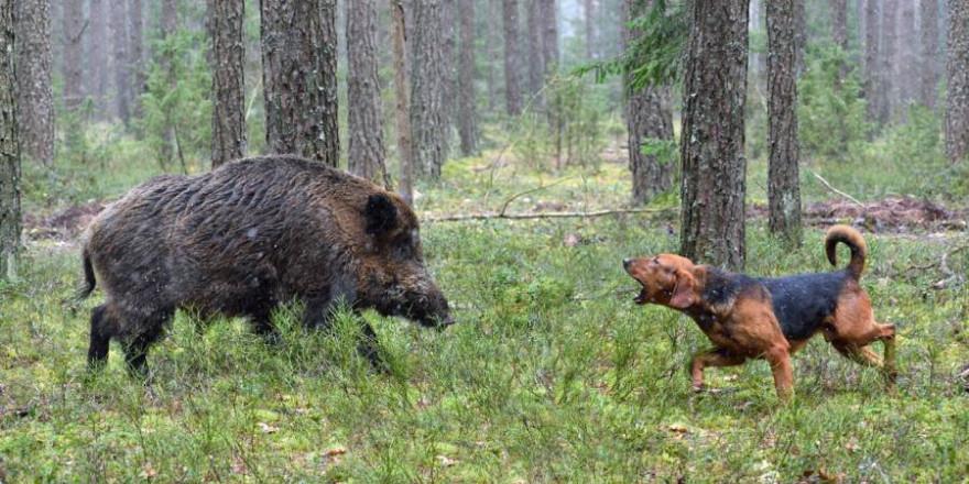 Durch den Kontakt mit Wildschweinen hat sich ein Jagdhund während einer Treibjagd mit der Aujeszkyschen Krankheit infiziert (Beispielbild: iStock.com/eAlisa)
