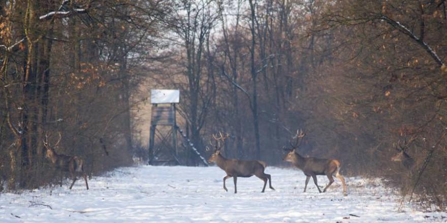 Rothirsche vor einem Hochsitz über eine Freifläche im winterlichen Wald wechselnd (Foto: iStock/Jevtic)