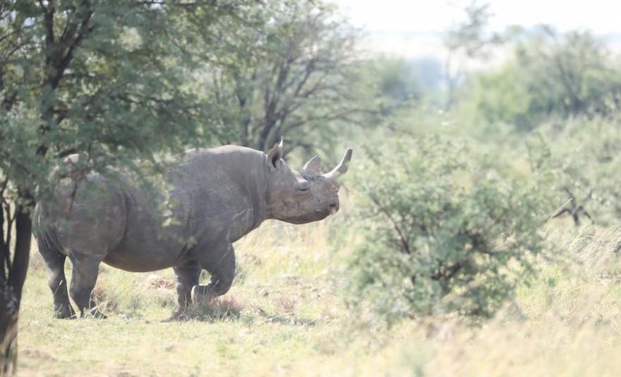 Nashorn in der Savanne