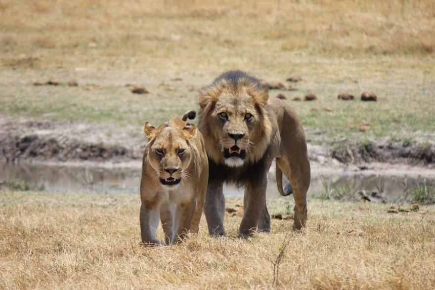 Löwen in der Wildnis