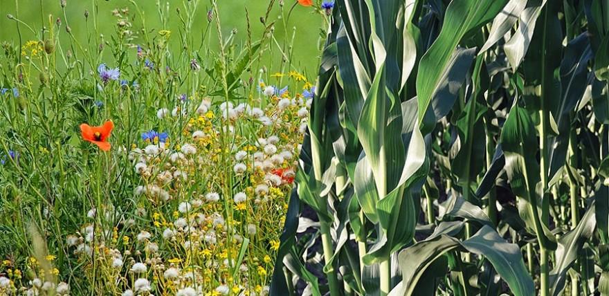 Wildblumen statt Maisfeld