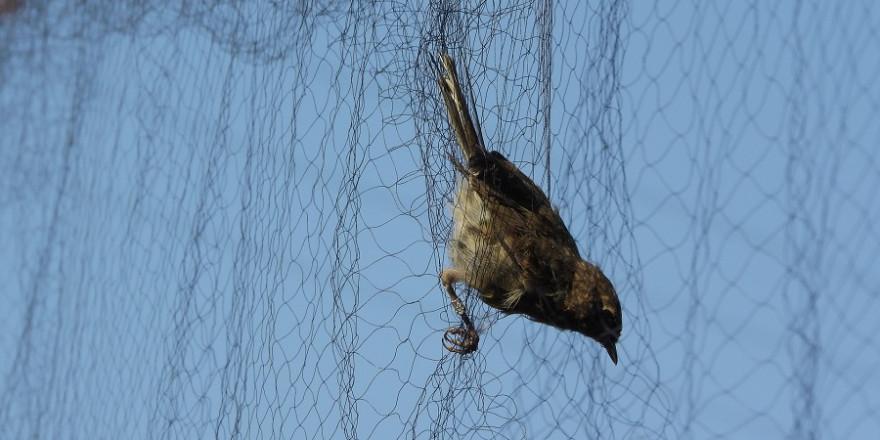 Singvogel in Japannetz