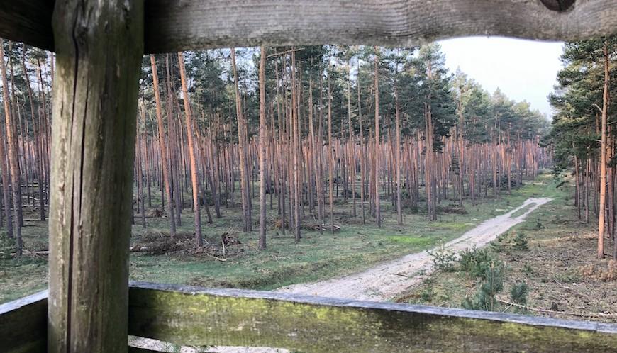 Blick in Kiefernmonokultur