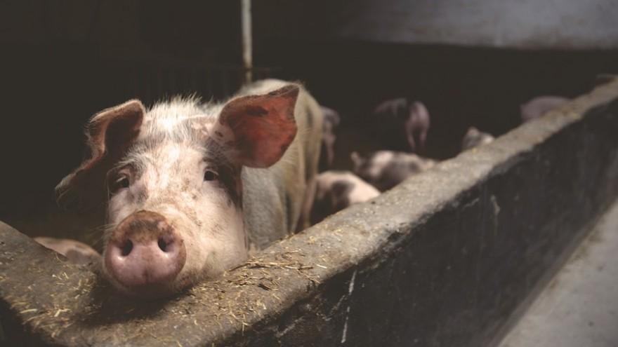 Hausschwein im Stall