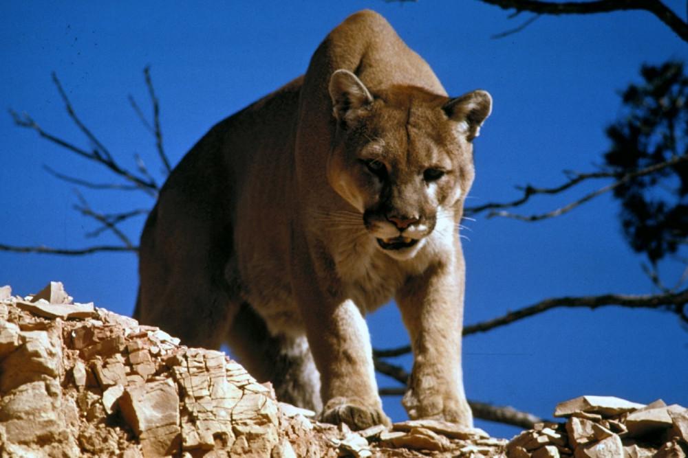 Ein Puma auf der Lauer