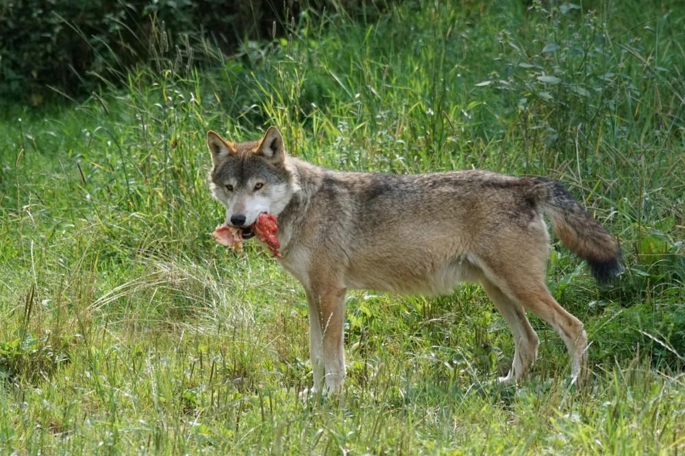Wolf mit Riss